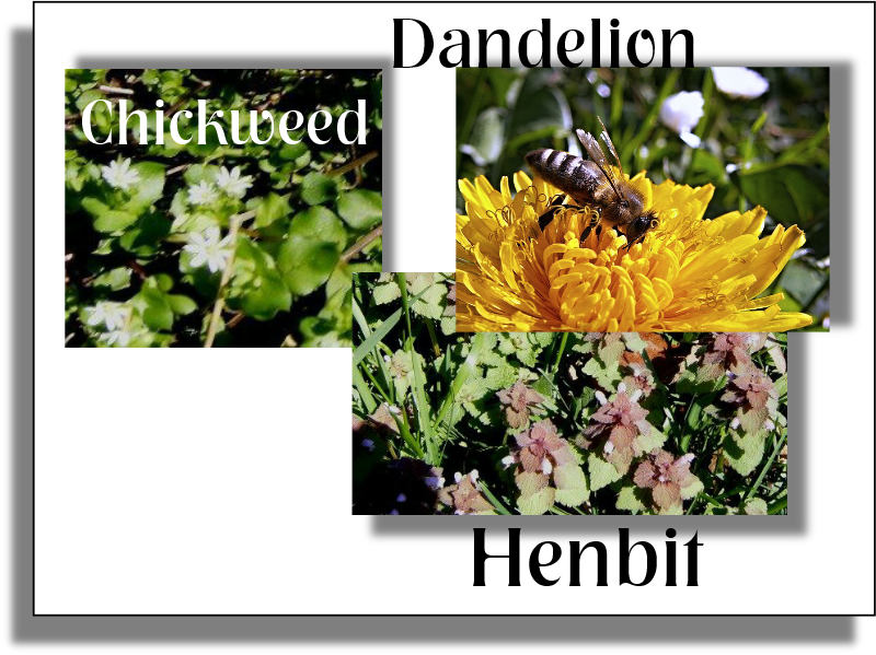 Chicken Salad of Henbit and Chickweed, plus dandelions are spring beneficial.
