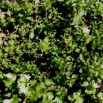 Chickweed will sooth inching from sunburn, bites and other issues. Chickens thrive on it too.