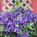 Spring time cutting helps make the purple clematis grow thick and lush.