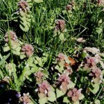 Henbit is part of the Mint family/ Honey Bees and chickens love it.