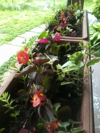 Begonias and coleus from the Big Top tent project flourish in the flower box
