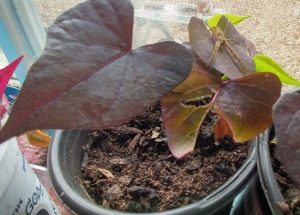 Red or Purple decorative sweet potato