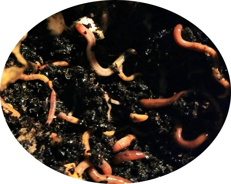 active redworms in compost bin
