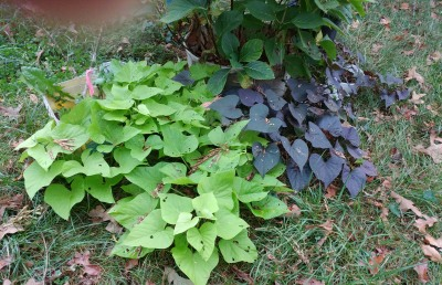 Chartreuse and purple decorative sweet potato vines