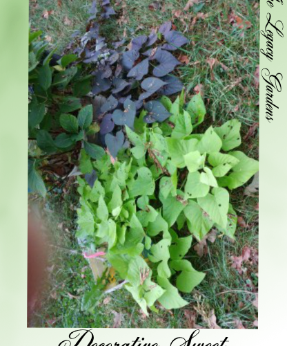 photo - decorative sweet potato vine, purple and chartreuse