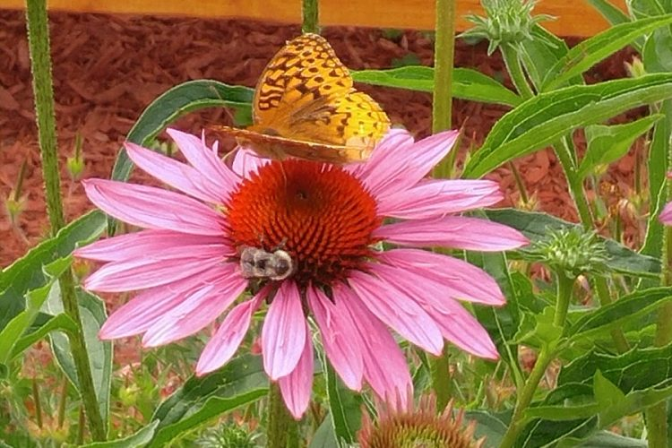Photo of Coneflower with a bee and a butterfly