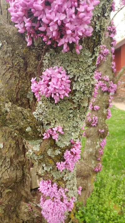 unusual redbud tree blooms on the bark as well as branches.