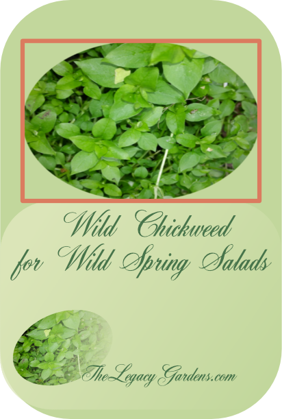 Image of wild, green chickweed at The Legacy Gardens