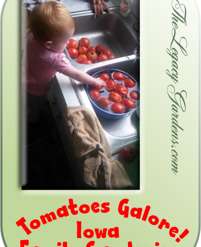 image of baby at kitchen sink, washing tomatoes from Iowa family garden