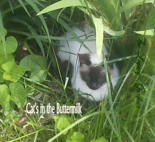 Image of cat in grass -- the cat liked the buttermilk. Buttermilk is organic weed killer
