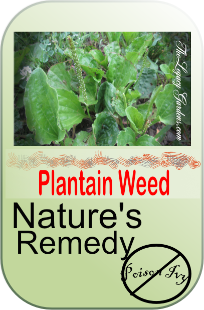 Graphic about plantain weed,, nature's remedy for itching rashes from irritating plants.