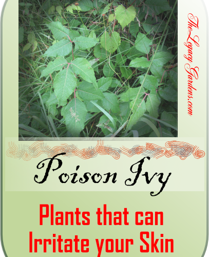 graphic featuring poison ivy