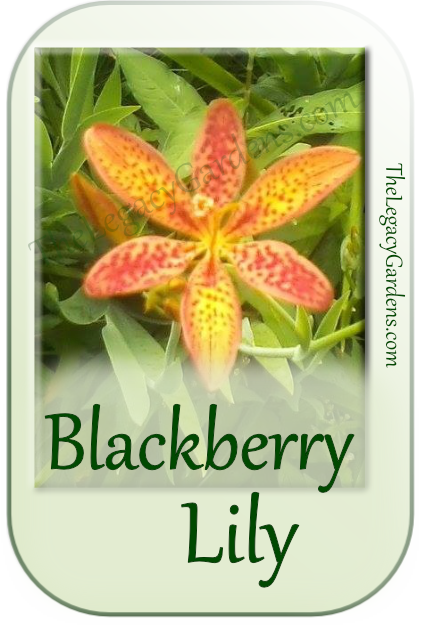 image of blackberry lile