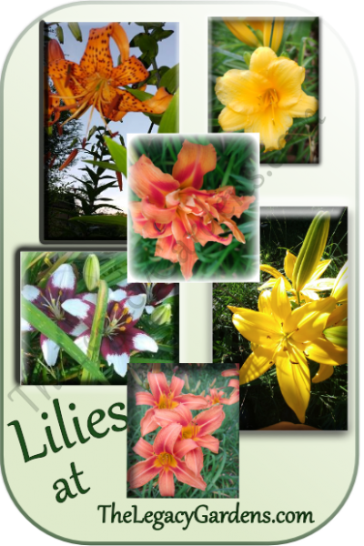 Lily Celebrations! – My Love Affair With Lilies