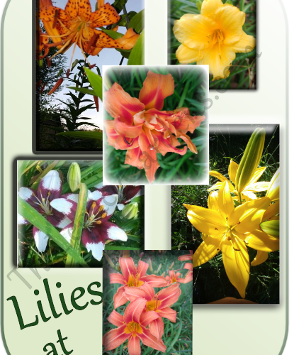 collage of lilies growing at the legacy gardens