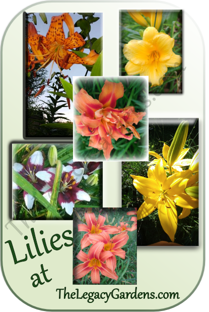 Collage of Lilies grown at The Legacy Gardens. Tiger Lily, Stella D'Oro daylily, Kwanzo daylily, Oriental Lily, Ditch Lily