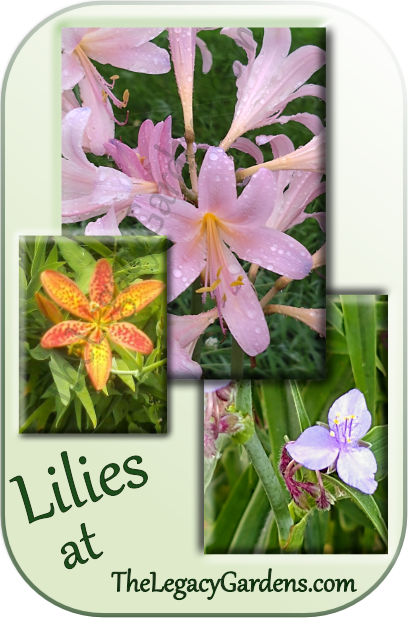 collage of three lilies grown at the legacy gardens.