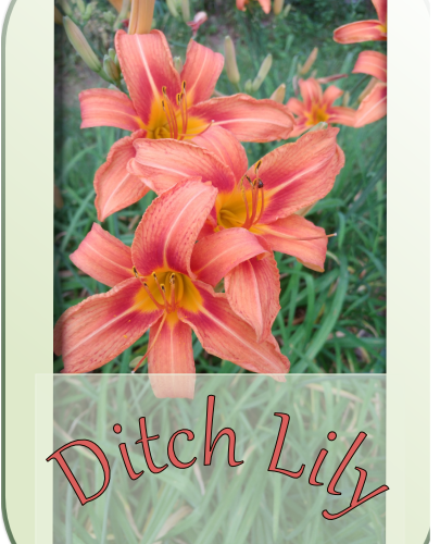 image of ditch lilies