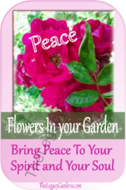 ruby colored rambler rose brings peace to spirit and soul